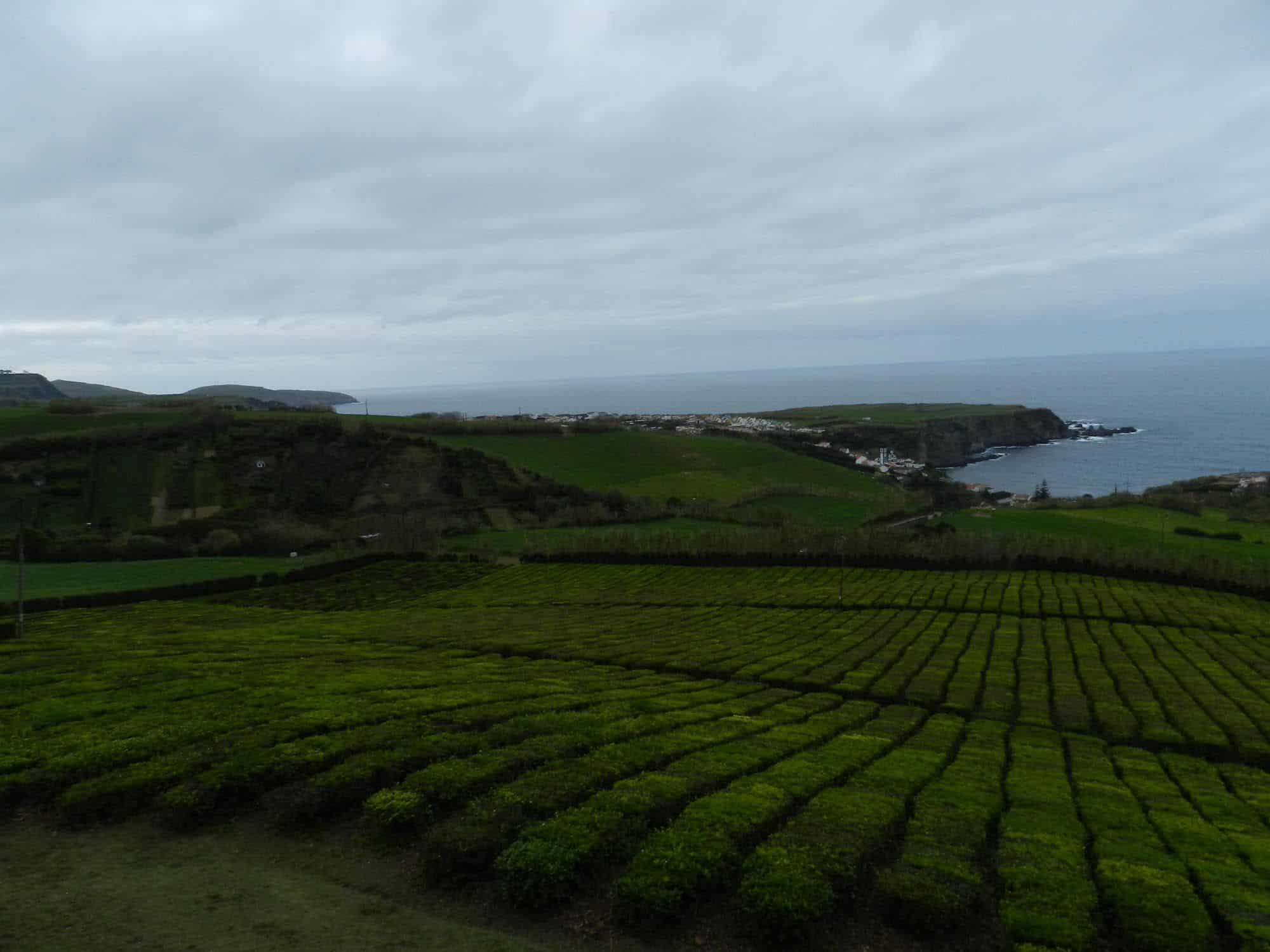 Plantation de thé Açores