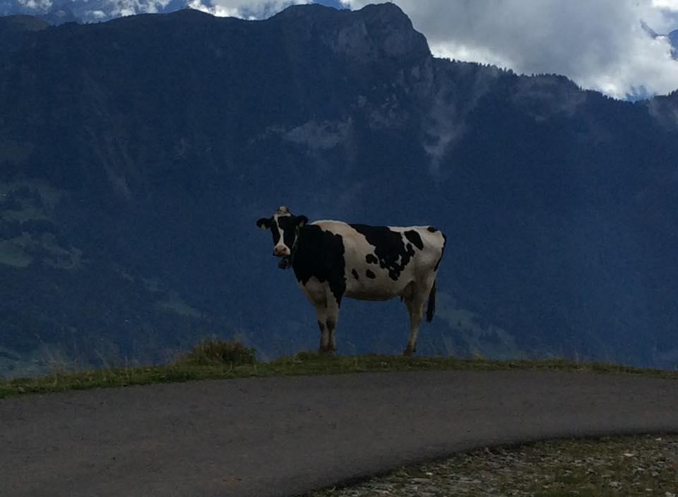 vache Alpes-Suisse