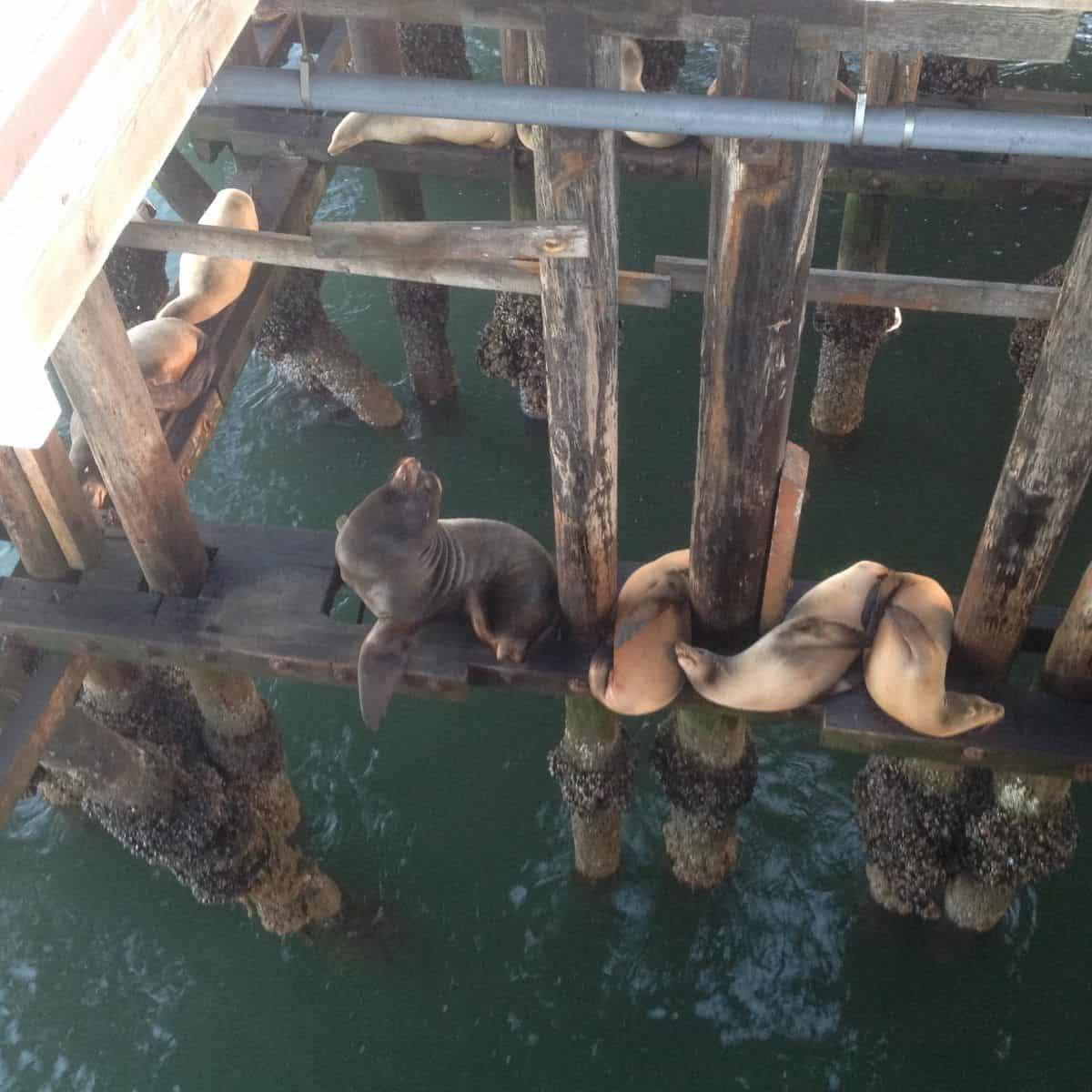 lions de mer. Californie
