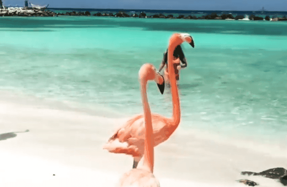 You are currently viewing Vidéo: flamants roses à Aruba