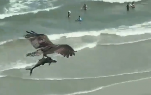 Video: An Osprey Carrying What Seems Like A Shark Over A Beach