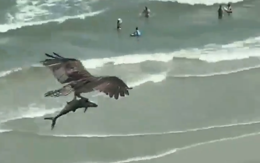 Vidéo: un rapace qui transporte ce qui semble être un requin au-dessus d'une plage